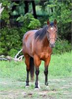 2016 AQHA BAY FILLY STARTED LOPING THE BARREL PATTERN