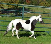 Registered Miniature Horse Majority Herd Dispersal